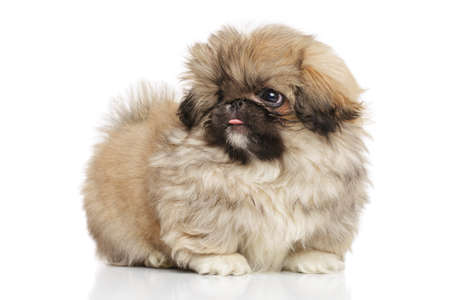 studioshot: Cute Pekingese puppy on white background