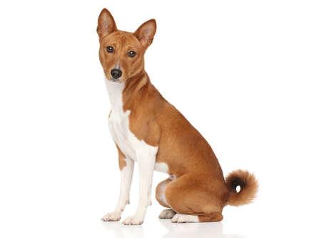 白い背景でポーズ バセニー犬
