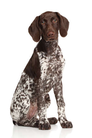 German shorthaired pointer seduto su sfondo bianco