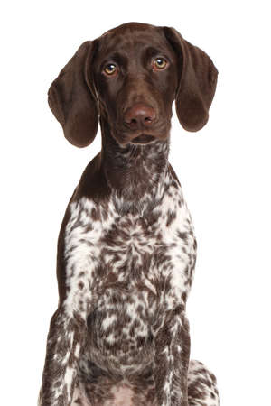 shorthaired: German Shorthaired Pointer kurzhaar isolated on white background