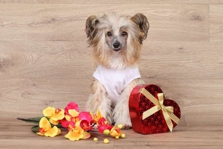 Happy shaggy Chinese Crested dog on wooden background