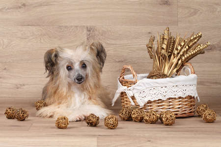 lapdog: Shaggy Chinese Crested dog near the wicker basket on wooden background
