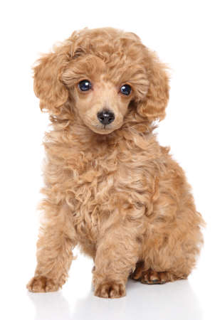 Apricot toy Poodle puppy sits in front of white background