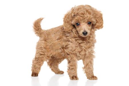 Perrito del caniche de juguete en el fondo blanco