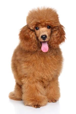 Gelukkige hond. Miniature Poodle puppy zit in de voorkant van de witte achtergrond