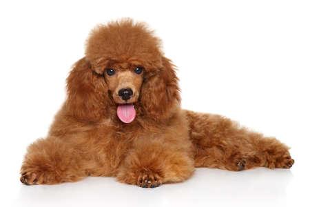 Juguete rojo del caniche cachorro tumbado en el suelo blanco