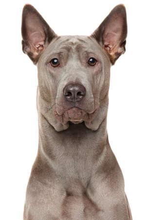 dog isolated: Close-up of Thai Ridgeback Dog isolated on white background