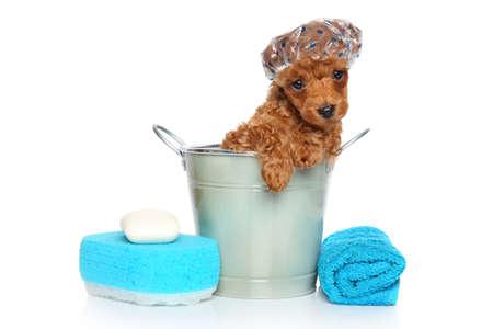 お風呂のテーマです。白い背景の前に赤トイプードル子犬