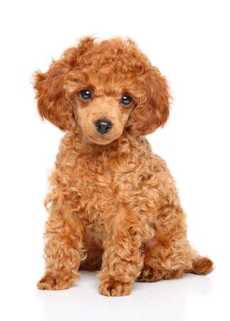 白い背景の上に座って赤トイプードル子犬