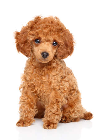 perrito: cachorro de color rojo del caniche de juguete se sienta en el fondo blanco