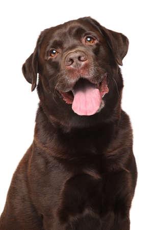 perro labrador: Primer plano de Labrador retriever aislado en el fondo blanco