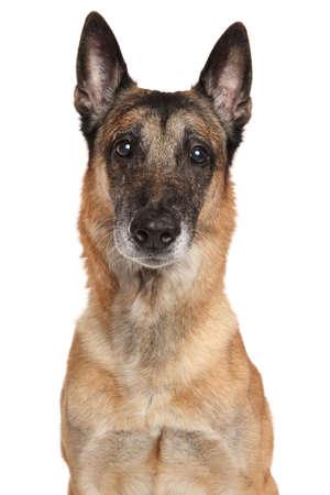 sheepdogs: Adult Belgian Shepherd dog Malinois isolated on white background