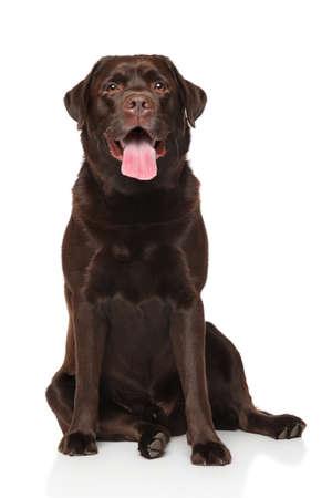 白い背景の前に座ってチョコレート ラブラドル ・ レトリーバー犬 写真素材