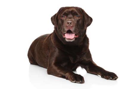 chocolate labrador retriever: Chocolate Labrador retriever lying on white background