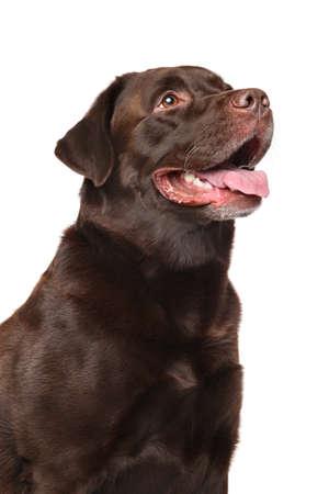 Brown Labrador retriever dog on white background