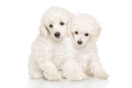 cachorros caniche en el fondo blanco
