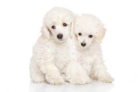 Poodle puppies on white background