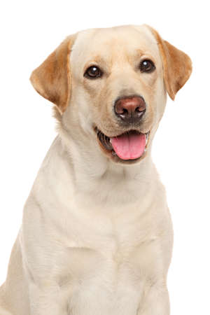 Close-up portrait of Labrador retriever isolated on a white background Stockfoto