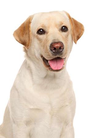 Close-up portrait of Labrador retriever isolated on a white background Standard-Bild