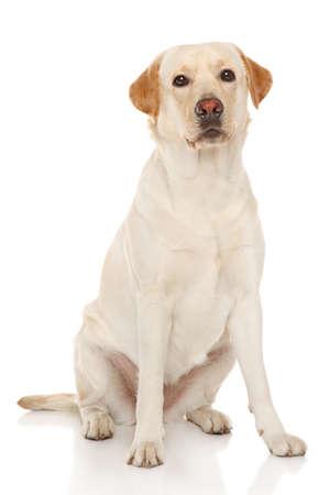labrador retriever: Portrait of Labrador retriever on a white background