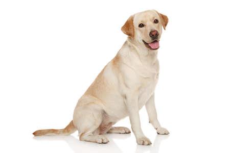 白い背景の前に美しいラブラドル ・ レトリーバー犬