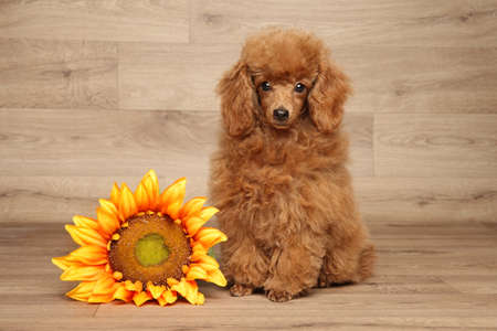poodle: Red dwarf poodle puppy with sunflower sits on wooden background