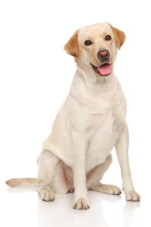 幸せなラブラドール犬は白い背景の上に座っています。