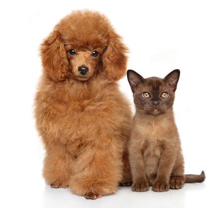 miniature breed: Cachorro y gatito juntos delante de fondo blanco