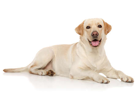 Young Labrador retriever lying on a white background 스톡 콘텐츠