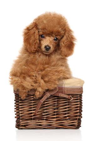 perrito: cachorro de color rojo del caniche de juguete en la cesta. Retrato sobre un fondo blanco
