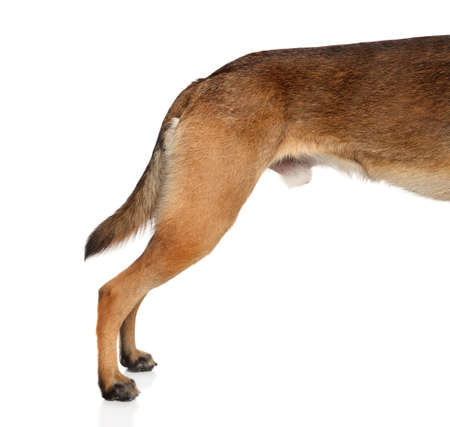 hind: Adult Belgian shepherd dog Malinois Hind legs side view on white background
