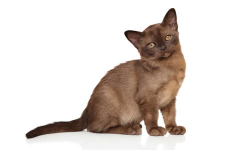 burmese: Beautiful Burmese kitten on white background