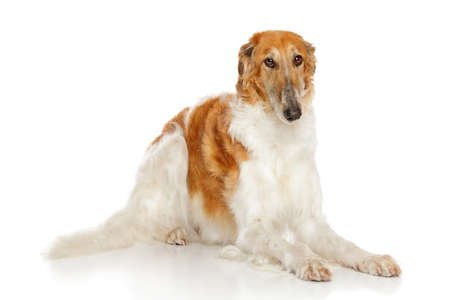 white russian: Russian borzoi dog in front of white background Stock Photo