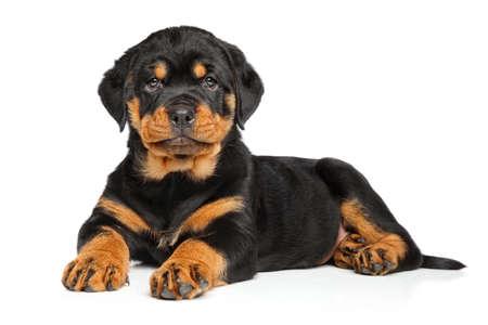 rotweiler: Rottweiler puppy dog ??lies down on white background Stock Photo