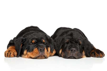 rotweiler: Cute Rottweiler puppies sleeping on white background