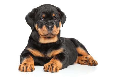 rottweiler cachorro se encuentra en frente de fondo blanco Foto de archivo