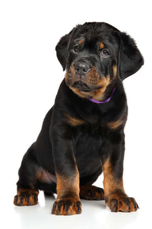 rotweiler: Rottweiler puppy dog ??in front of white background