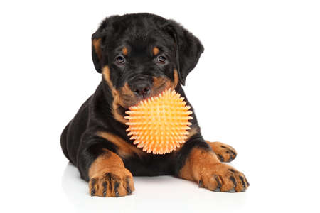 rotweiler: Rottweiler puppy playing with ball on white background