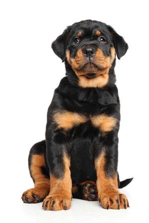 perrito: rottweiler cachorro se sienta delante de fondo blanco Foto de archivo