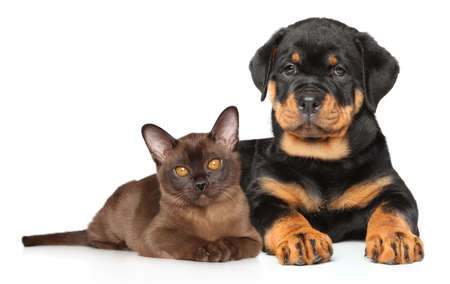 rottweiler: Kitten and puppy lying together on white background