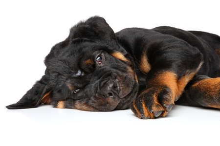 rotweiler: Rottweiler puppy laying in front of white background