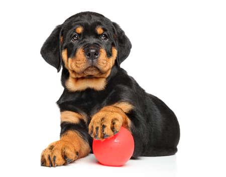Rottweiler cachorro que se acuesta con una bola en el fondo blanco Foto de archivo