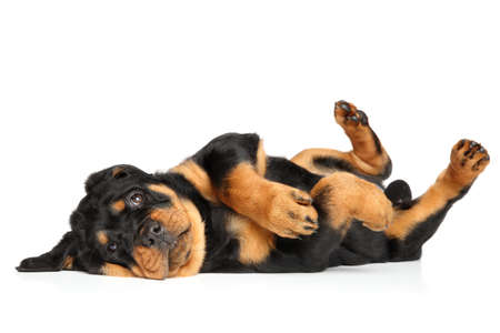 rotweiler: Rottweiler puppy dog resting in front of white background