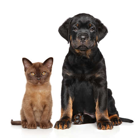 rotweiler: Cat and dog together on a white background