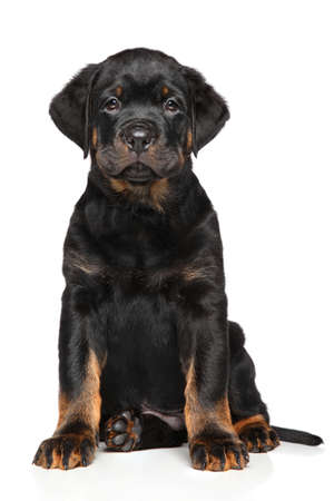 rotweiler: Rottweiler puppy dog. Portrait on a white background Stock Photo
