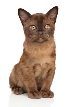 burmese: Portrait of Chocolate Burmese kitten on white
