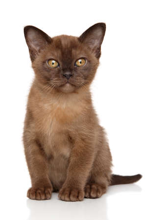 burmese: Cute Burmese kitten on white background