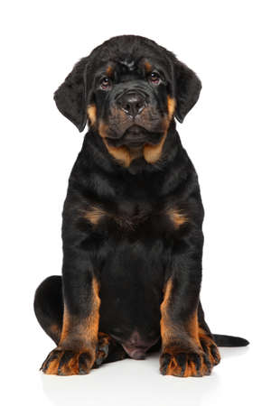 rotweiler: Cute Rottweiler puppy dog on white background Stock Photo