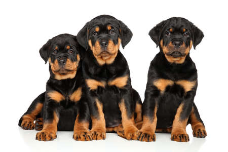 rotweiler: Rottweiler puppies on white background Stock Photo