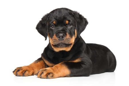 rotweiler: Rottweiler puppy resting in front of white background